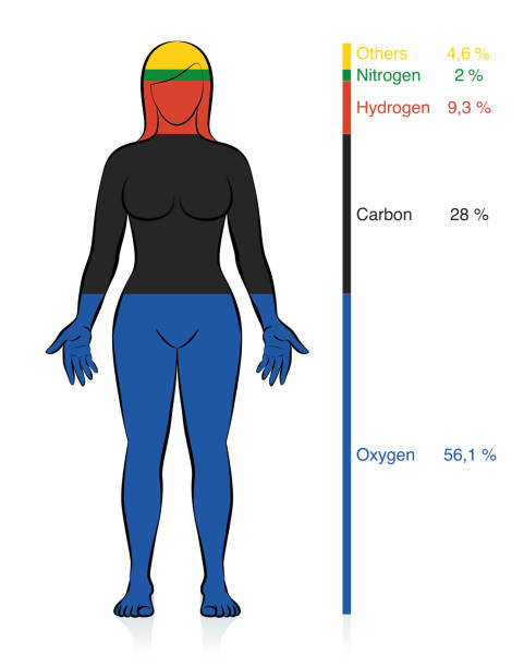 Amount of the most common chemical elements oxygen, carbon, hydrogen and nitrogen in the human body with percent of mass information that compose a normal weight woman. Vector illustration on white. Amount of the most common chemical elements oxygen, carbon, hydrogen and nitrogen in the human body with percent of mass information that compose a normal weight woman. Vector illustration on white. carbohydrate biological molecule stock illustrations