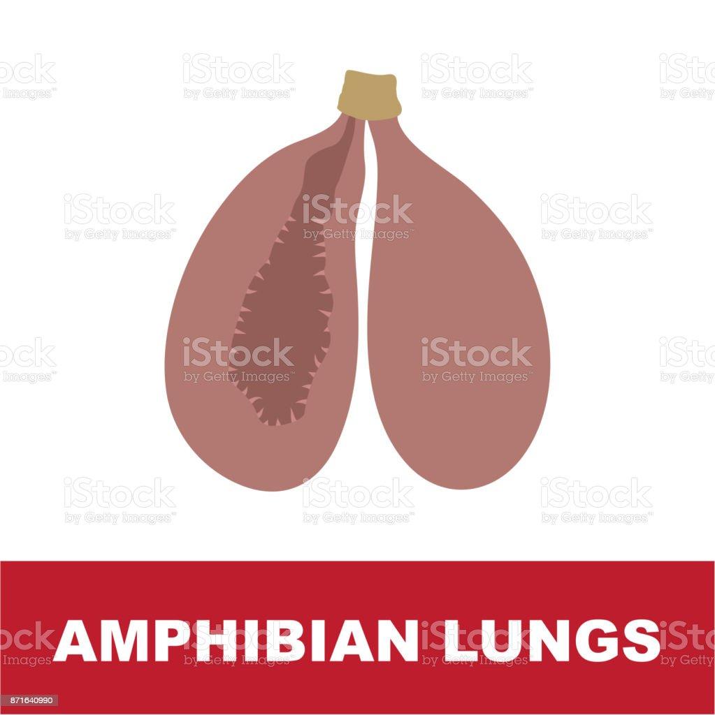 amfibie Schematisk lung anatomi vektorkonstillustration