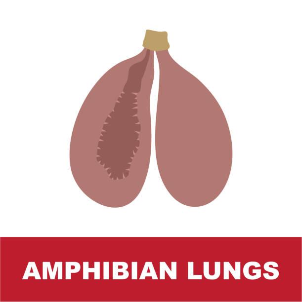 amphibian schematic lung anatomy vector art illustration