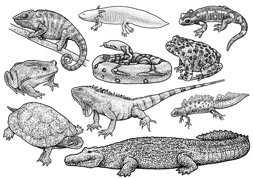 Amphibians and reptile collection illustration, drawing, engraving, ink, line art, vector