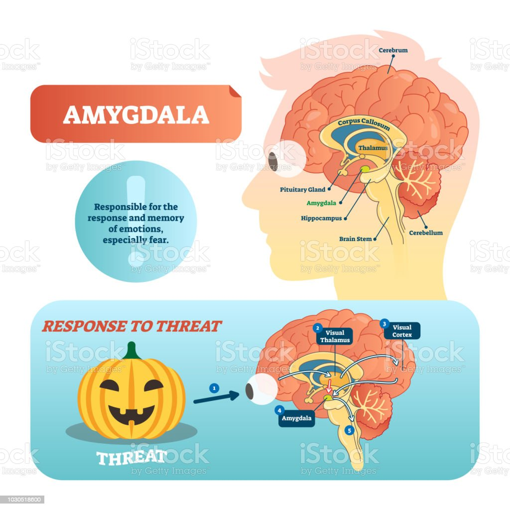 Amygdala medical labeled vector illustration and scheme with response to threat. vector art illustration