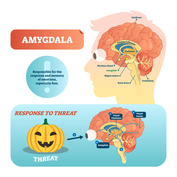 Amygdala medical labeled vector illustration and scheme with response to threat. Amygdala medical labeled vector illustration. Anatomical scheme with visual thalamus, cortex and response to threat. Diagram with cerebrum, thalamus and corpus callosum. brain stem stock illustrations