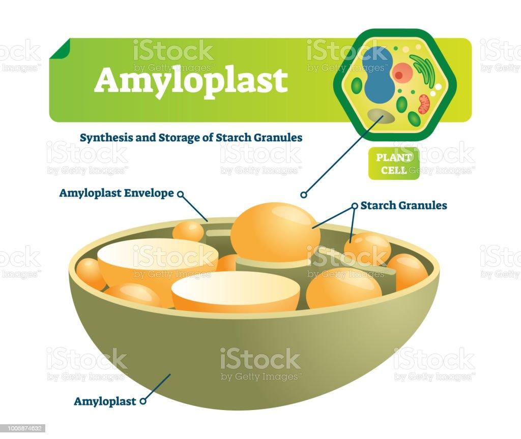 amyloplast vector illustration labeled medical scheme with synhesis vector id1005874632 amyloplast vector illustration labeled medical scheme with synhesis