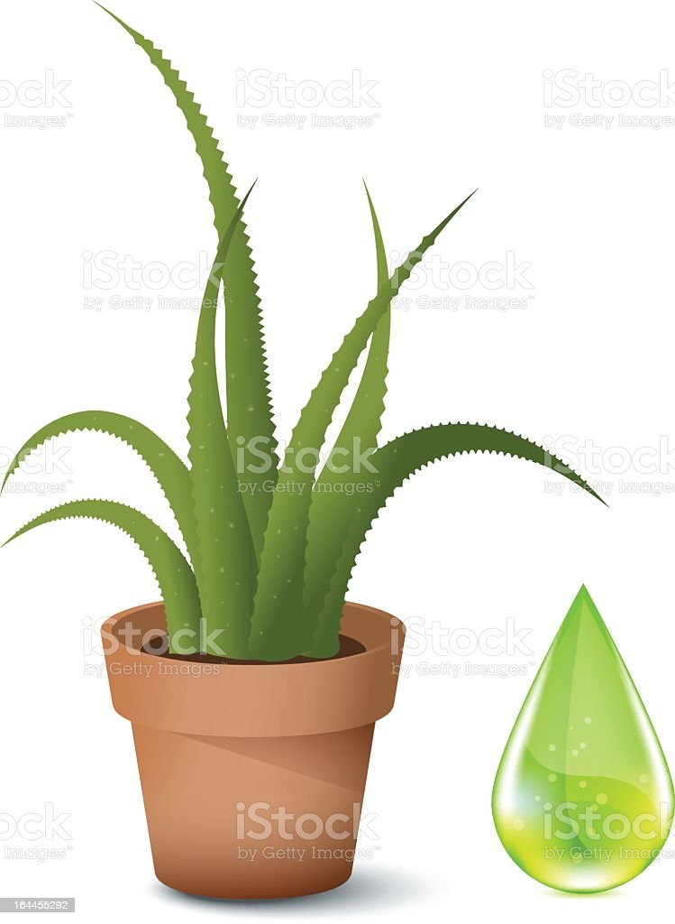 An aloe Vera in a plant pot on white vector art illustration