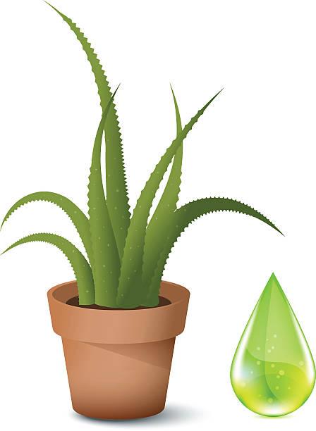 An aloe Vera in a plant pot on white vector art illustration