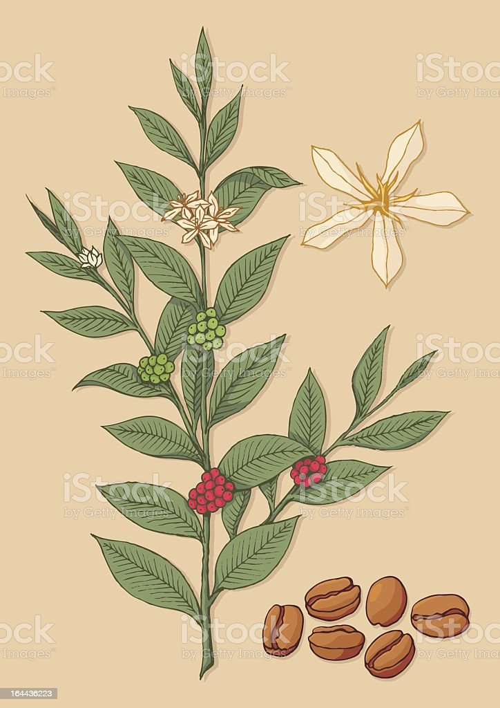 An Illustration Of A Coffee Bean Plant Stock Illustration ...