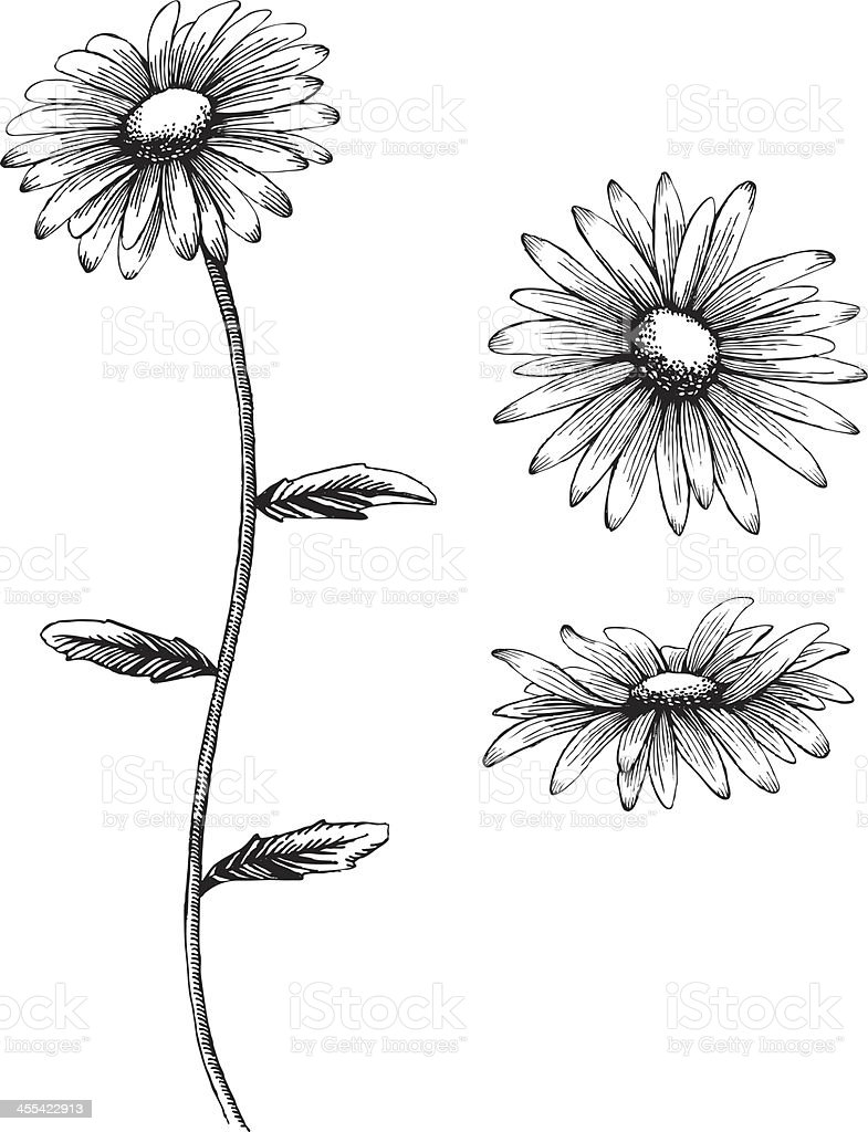 An illustration of a daisy in black and white vector art illustration