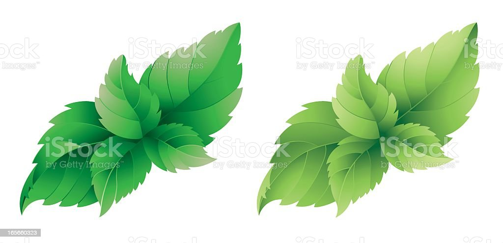 An illustration of a mint leaves on a white background vector art illustration