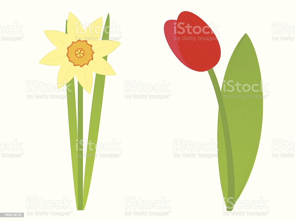 An illustration of a tulip and a daffodil royalty-free stock vector art