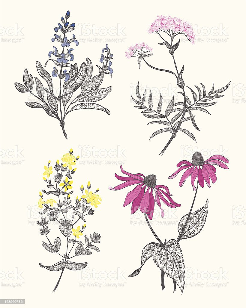 An illustration of herbal flowers  vector art illustration