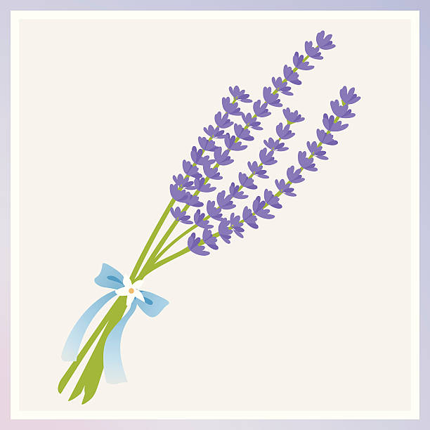 An illustration of lavender flowers tied with a bow see the flowers in my portfolio: lavender color stock illustrations