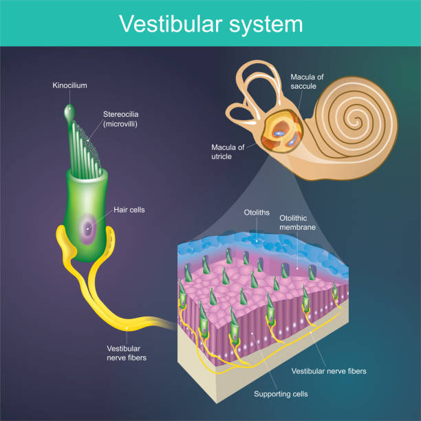 An organ that determines the body's balance. And the direction of the body.  Vestibular system It is part of the mammal's hearing system. vector art illustration