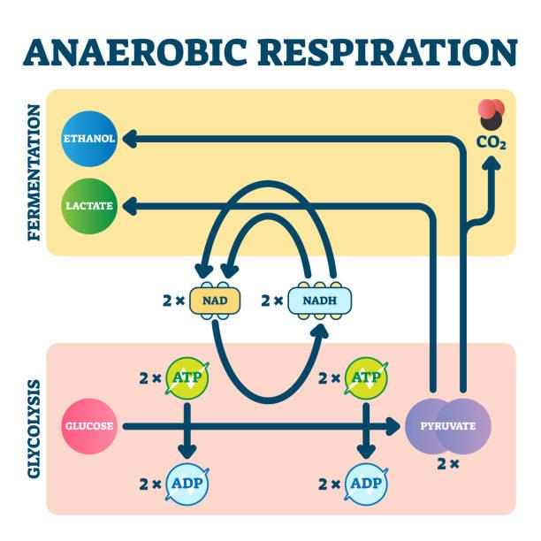 anaerobe atmung vektor-illustration. glykolyse und fermentationsschema - enzyme stoffwechsel stock-grafiken, -clipart, -cartoons und -symbole