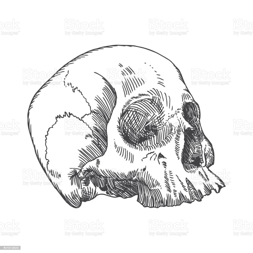 Anatomic Drawing Of Skull Without Lower Jaw On White Background ...