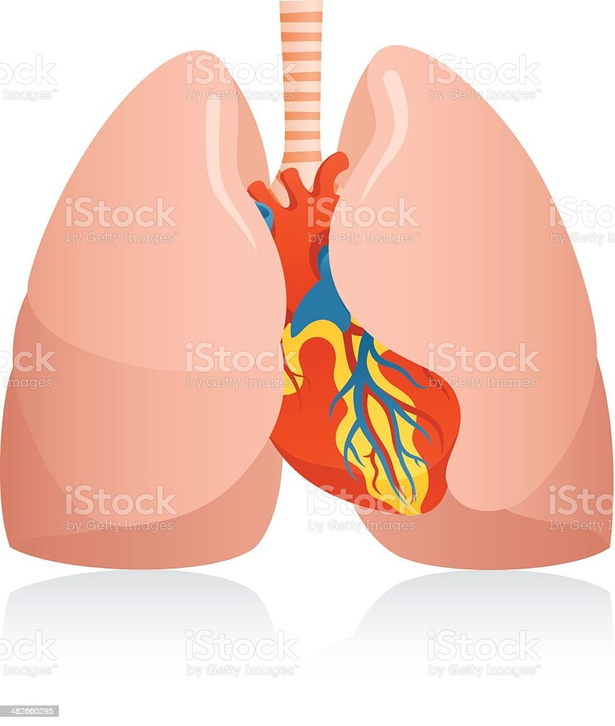 Anatomic Human Lungs Heart Stock Vector Art More Images Of Anatomy