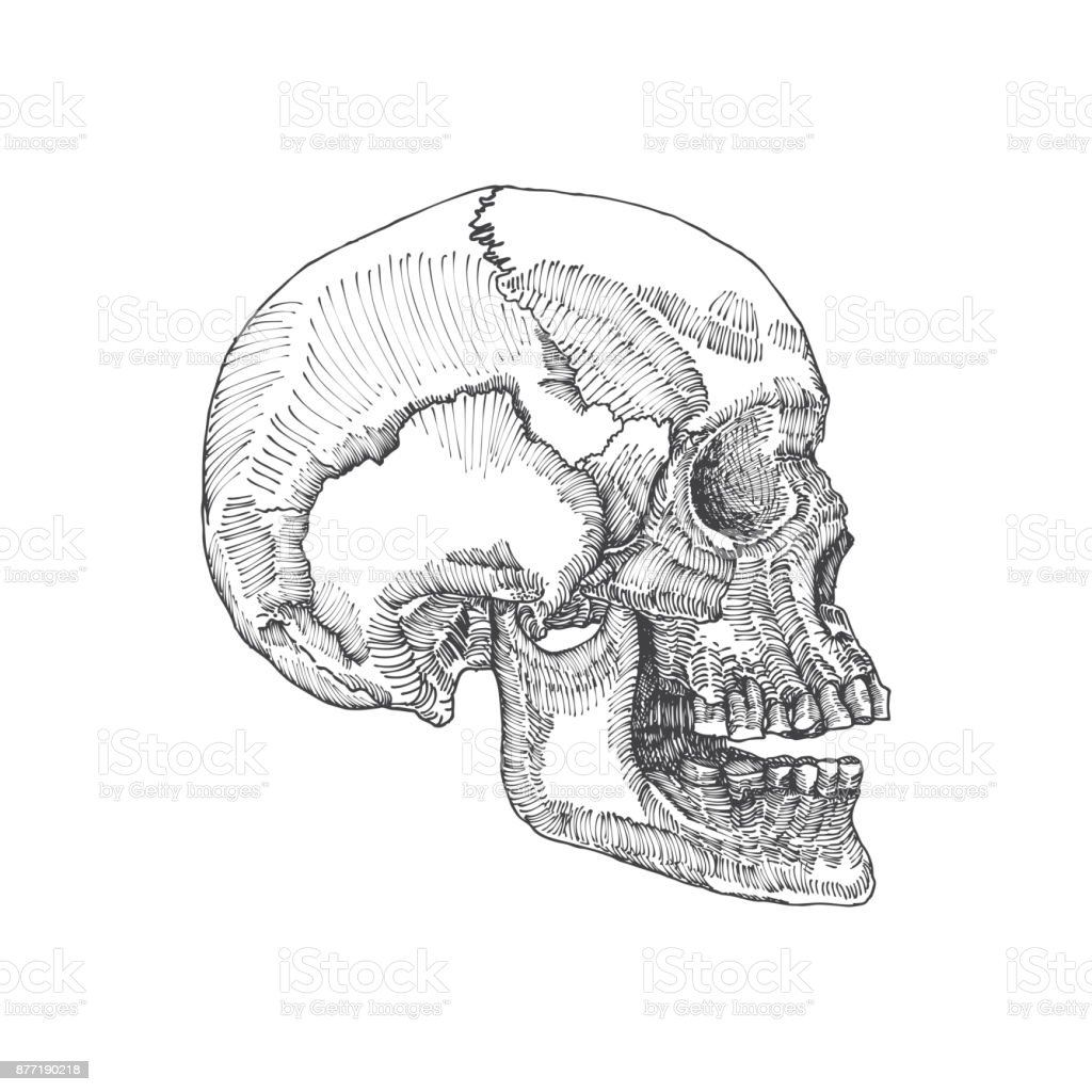 anatomic skull with open mouth or jaw weathered and museum quality vector id877190218 anatomic skull with open mouth or jaw weathered and museum quality