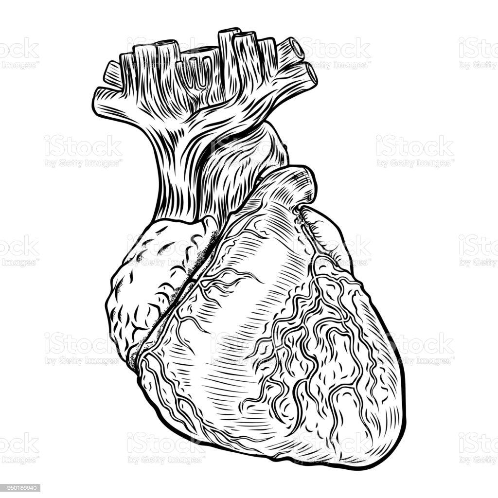 Anatomischen Herz Hand Gezeichnet Flashtattookonzept Der Anatomie ...