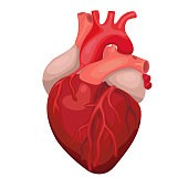 Anatomical heart isolated. Heart diagnostic center sign. Human heart cartoon design. Vector image.