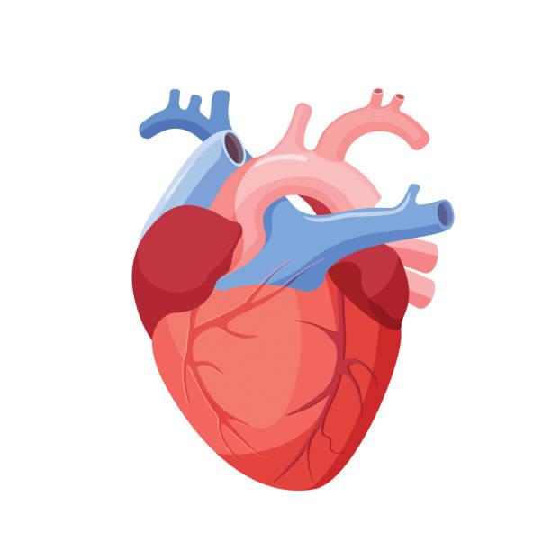 anatomical heart isolated. muscular organ in human - 人體部分 幅插畫檔、美工圖案、卡通及圖標