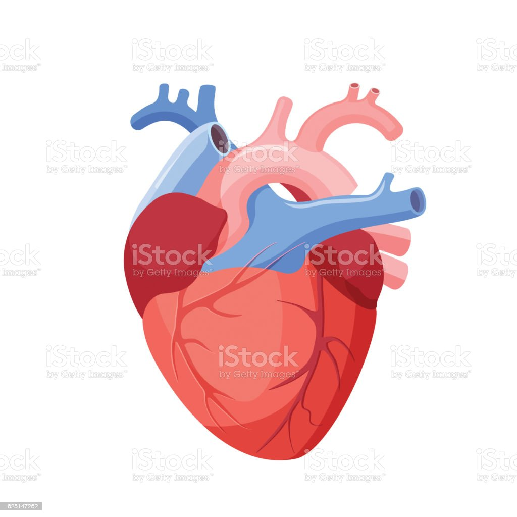 Anatomical Heart Isolated. Muscular Organ in Human - illustrazione arte vettoriale