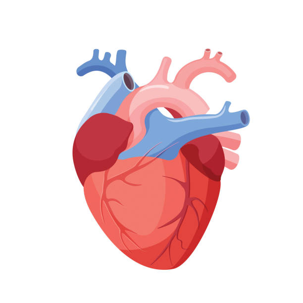stockillustraties, clipart, cartoons en iconen met anatomical heart isolated. muscular organ in human - lichaamsdeel