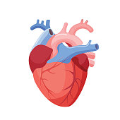 Anatomical heart isolated. Muscular organ in humans and animals, which pumps blood through blood vessels of circulatory system. Heart diagnostic center sign. Human heart cartoon design. Vector