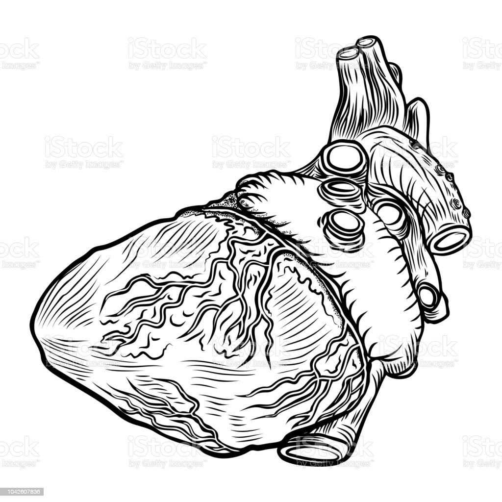 Anatomical Heart On White Background Hand Drawn Illustration Concept