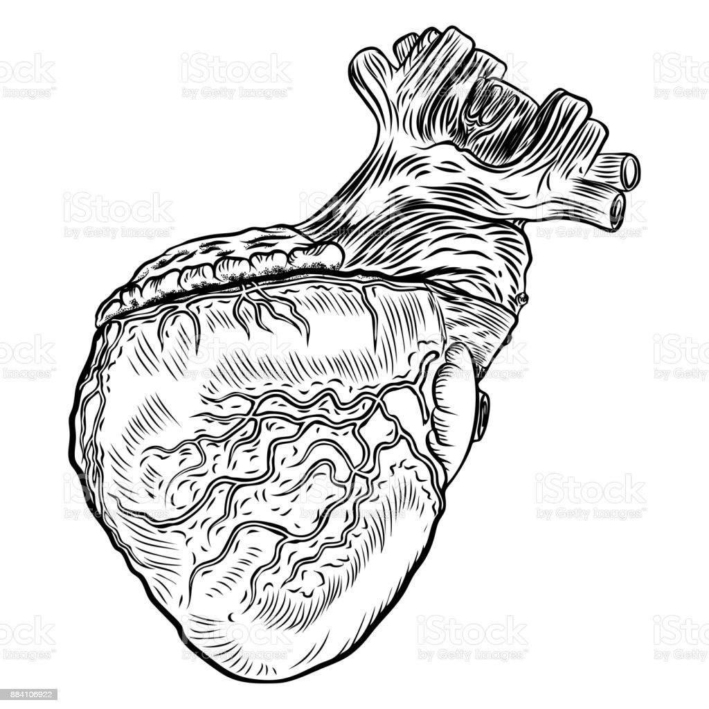 Anatomical Heart On White Background Hand Drawn Illustration Concept ...
