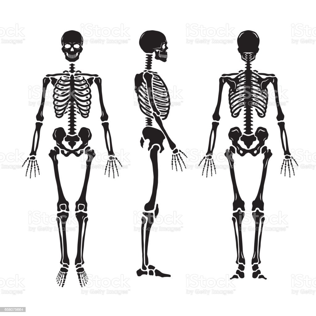 Anatomical human skeleton, in three positions. royalty-free anatomical human skeleton in three positions stock vector art & more images of anatomy