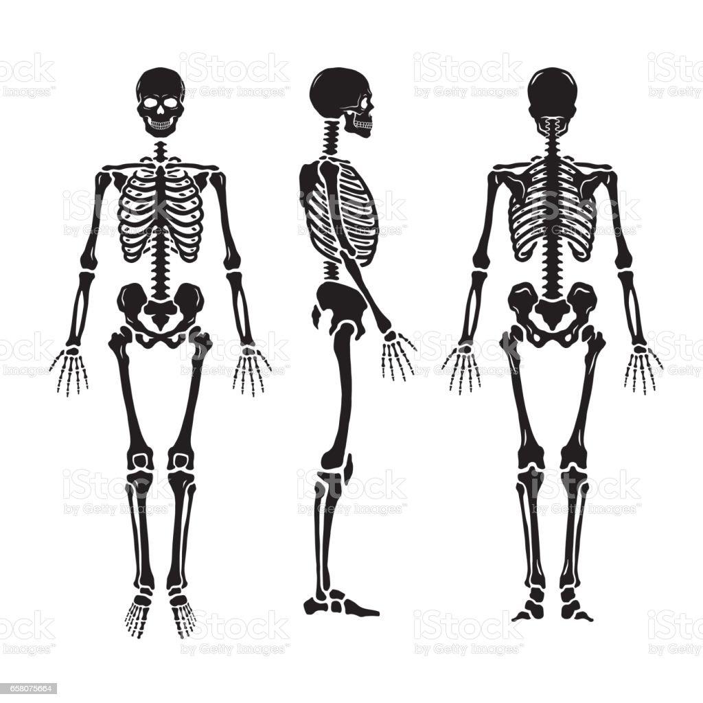 Anatomical human skeleton, in three positions. vector art illustration