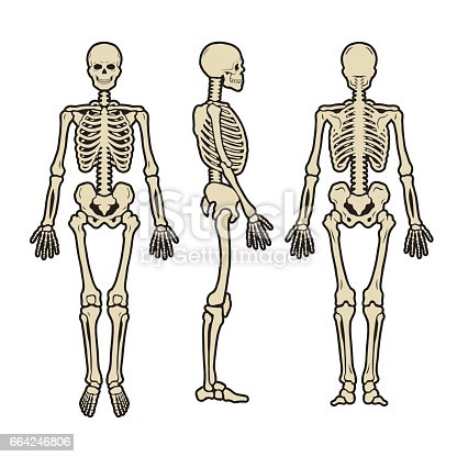 Anatomical Human Skeleton In Three Positions Stock Vector Art More