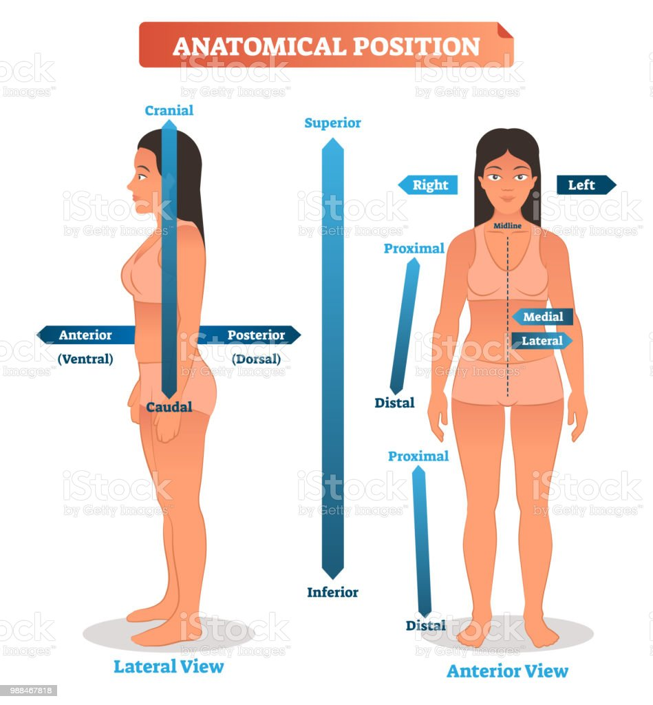 Anatomical Positions Vector Illustration Scheme Of Superior Inferior