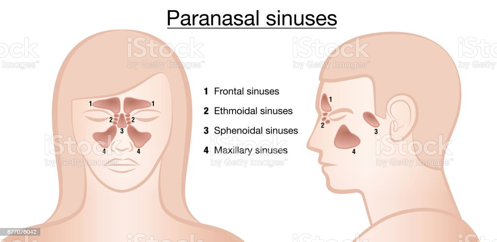 Anatomical Representation Of Paranasal Sinuses And Their Names