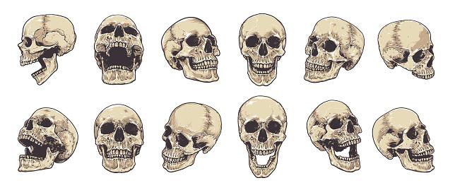 Anatomical Skulls Vector Set