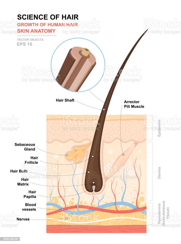 Anatomical training poster. Growth and structure of human hair. Skin and hair anatomy. Cross section of the skin layers. Detailed medical vector illustration vector art illustration