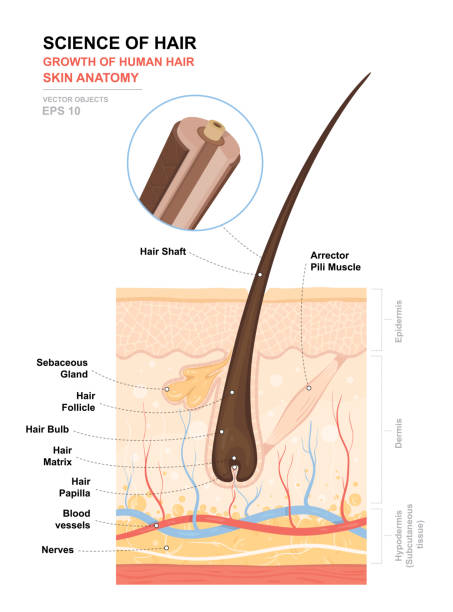 Anatomical training poster. Growth and structure of human hair. Skin and hair anatomy. Cross section of the skin layers. Detailed medical vector illustration Anatomical training poster. Growth and structure of human hair. Skin and hair anatomy. Cross section of the skin layers. Detailed medical vector illustration human gland stock illustrations