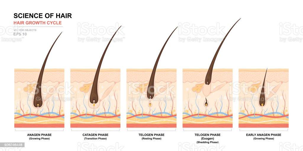 Ilustración de Cartel Formación Anatómica Fase De Crecimiento De ...