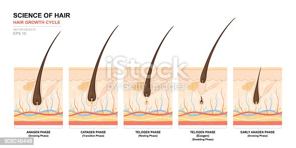 istock Anatomical training poster. Hair growth phase step by step. Stages of the hair growth cycle. Anagen, telogen, catagen. Skin anatomy. Cross section of the skin layers. Medical vector illustration 926246448