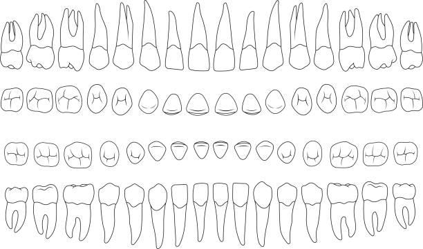 bildbanksillustrationer, clip art samt tecknat material och ikoner med anatomiskt korrekt tänder - molar