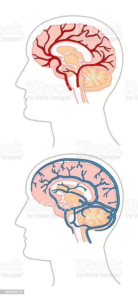anatomy - brains & blood flow vector art illustration