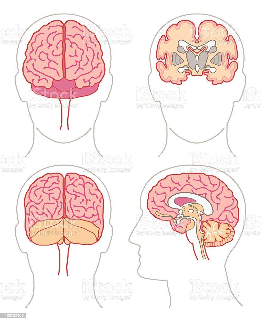 anatomy - brains vector art illustration