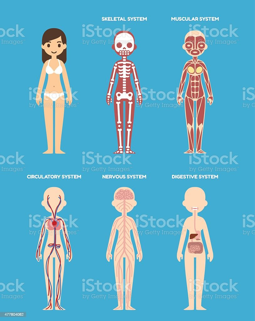 Anatomy diagram vector art illustration