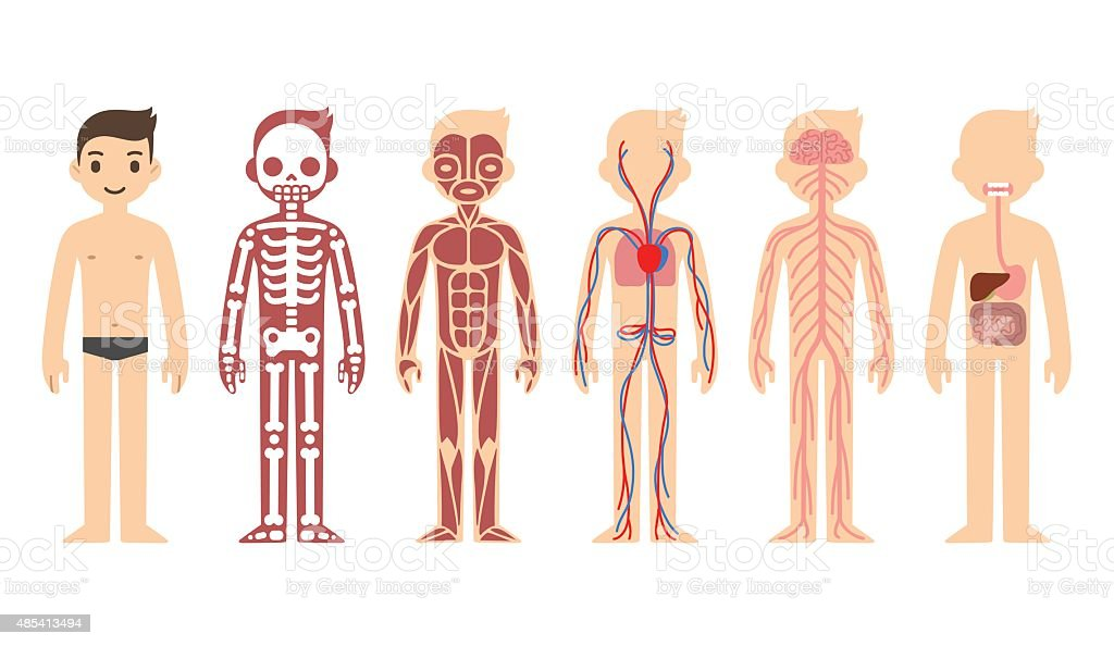 Anatomy diagram (male) vector art illustration