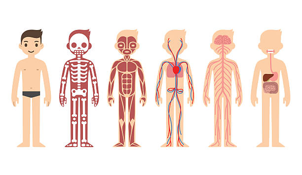 Royalty free the human body clip art vector images illustrations anatomy diagram male vector art illustration ccuart Gallery