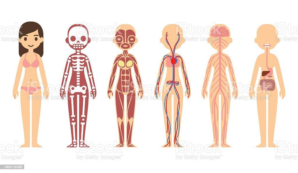Anatomy diagram stock vector art more images of 2015 485413496 anatomy diagram female royalty free anatomy diagram stock vector art amp more ccuart Image collections