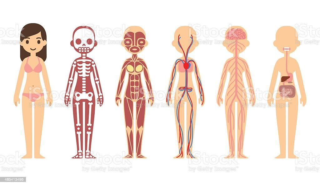 Anatomy diagram (female) vector art illustration