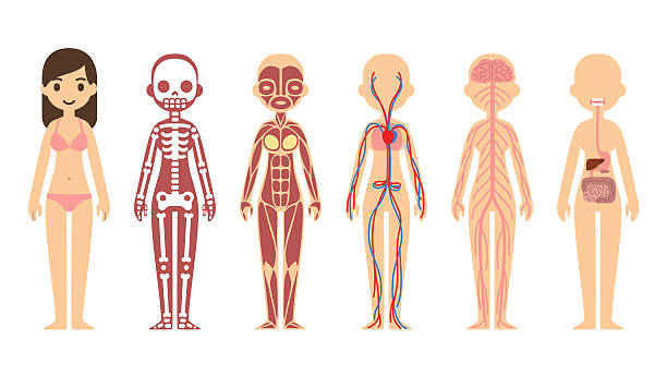 Royalty Free Woman Anatomy Clip Art Vector Images Illustrations