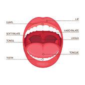 anatomy human open  mouth