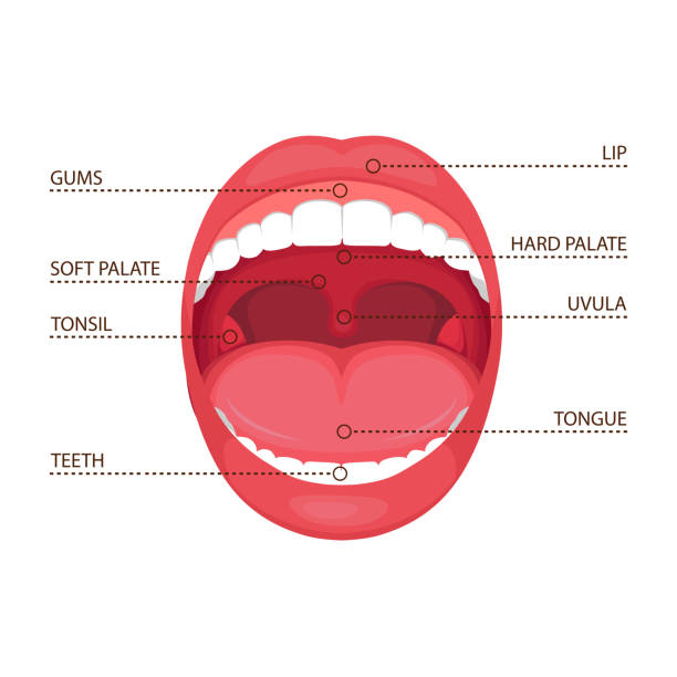 illustrazioni stock, clip art, cartoni animati e icone di tendenza di anatomy human open  mouth - bocca umana