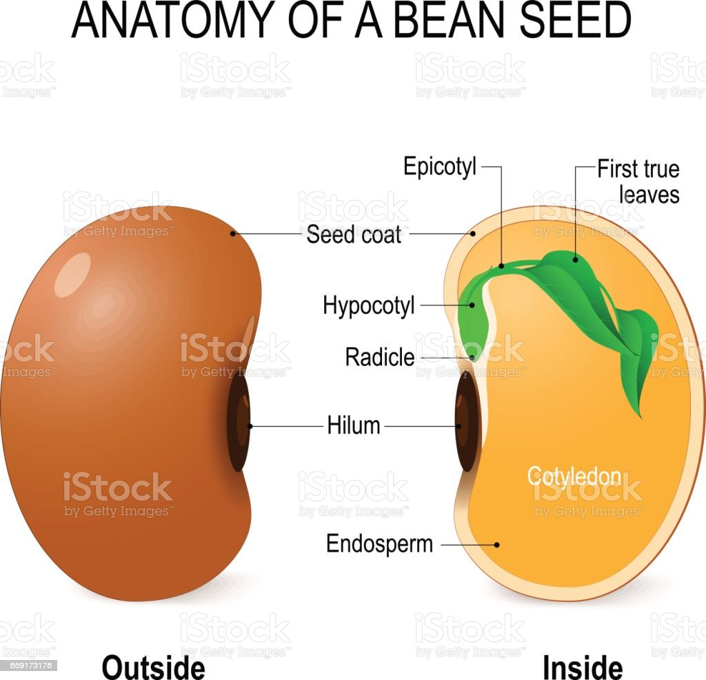 Anatomy Of A Bean Seed Stock Vector Art More Images Of Agriculture